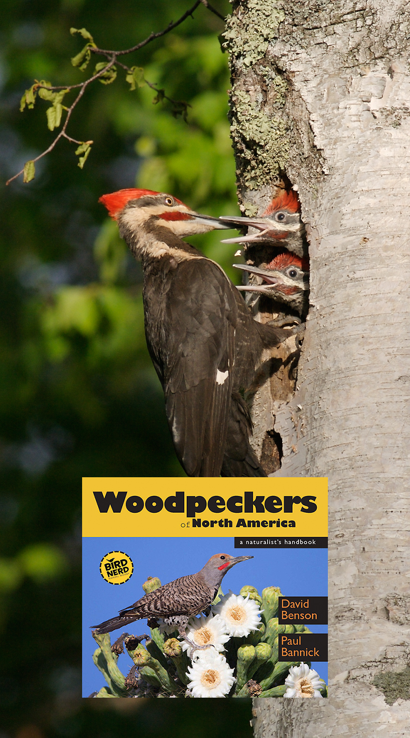 Pileated Woodpecker feeds young  [June; Gooseberry Falls State Park, Castle Danger, Minnesota]